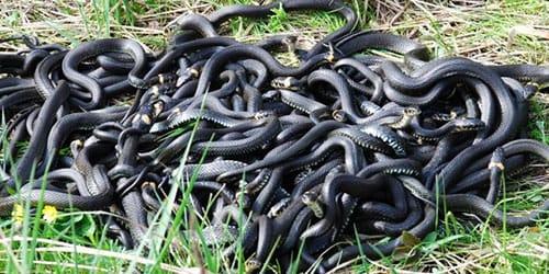 видеть клубок змей во сне