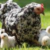 видеть курицу с цыплятами во сне