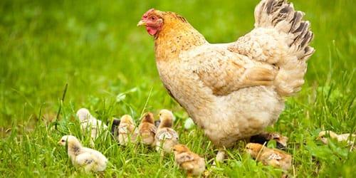 квочка с цыплятами