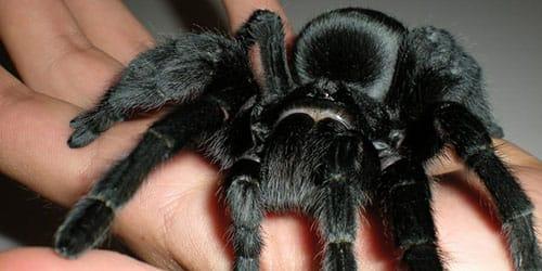 черный паук