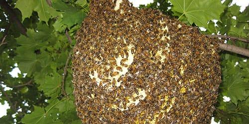 дикий пчелиный рой