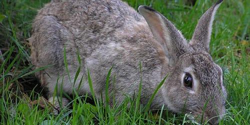 видеть большого серого кролика во сне