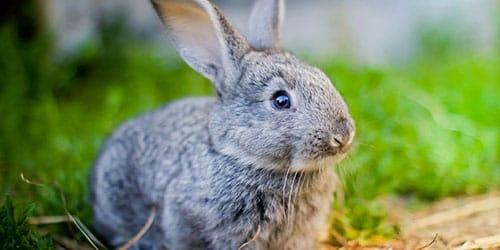ловить кролика