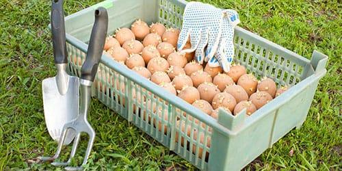 к чему снится собирать картошку