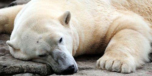 убить белого медведя