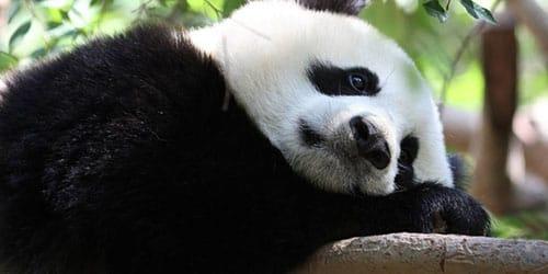 убить панду