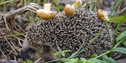 еж несет грибы