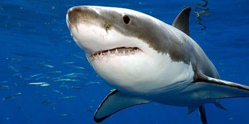 к чему снится что акула нападает