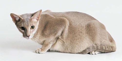 к чему снится беременная кошка