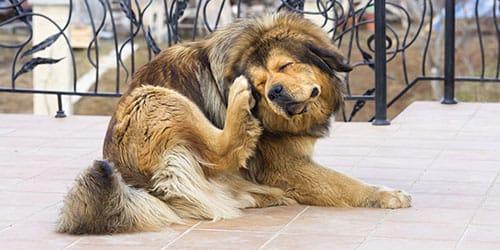 видеть во сне блох на собаке