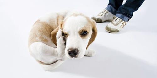 к чему снятся блохи на собаке