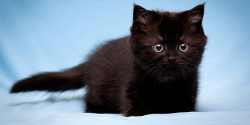 темный котенок