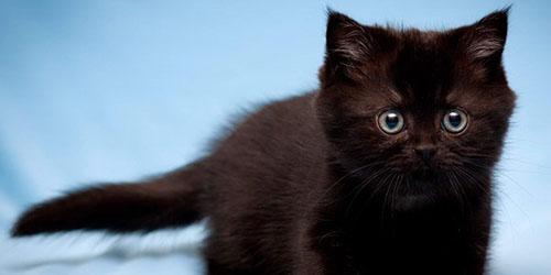 Видеть во сне черного котенка