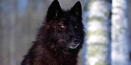 видеть черного волка во сне