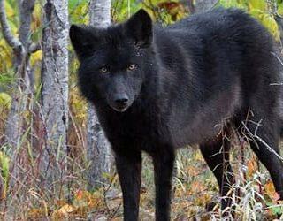К чему снится черный волк?