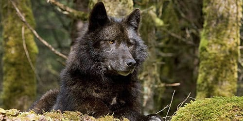 темный волк
