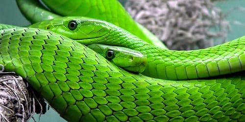 к чему снятся две змеи