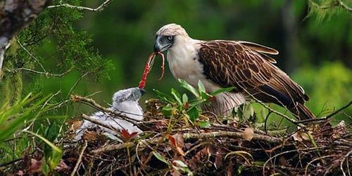 орлица кормит птенцов