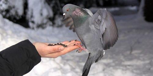 голубь ест с руки