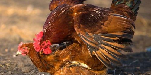 к чему снятся курица и петух