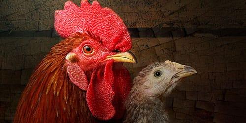 видеть во сне курицу и петуха