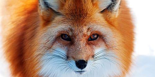 видеть лисицу во сне