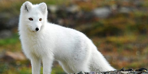 к чему снится лисица