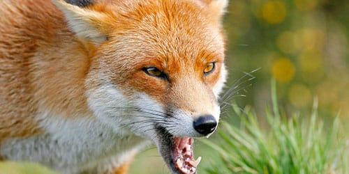 агрессивная лиса