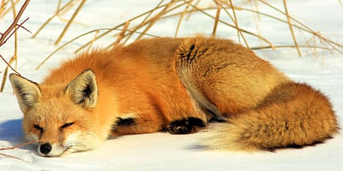 лиса спит