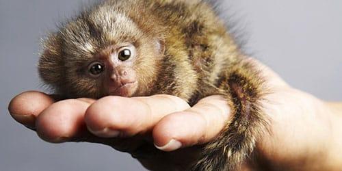 видеть маленькую обезьяну во сне