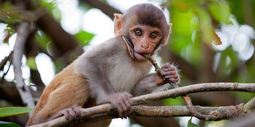 к чему снится маленькая обезьяна