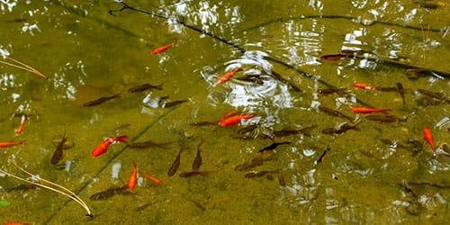 рыбьи малыши в пруду
