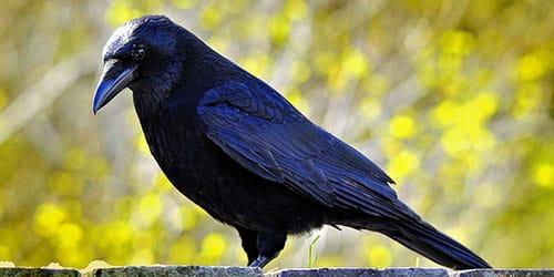 к чему снится мертвая ворона