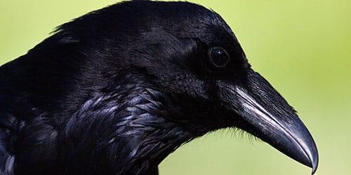 темная птица