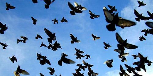 видеть во сне много голубей