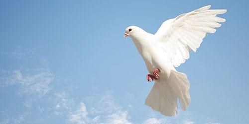 к чему снится много голубей