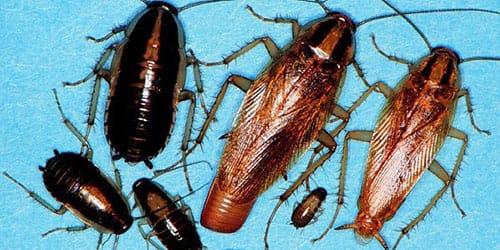 к чему снится много тараканов