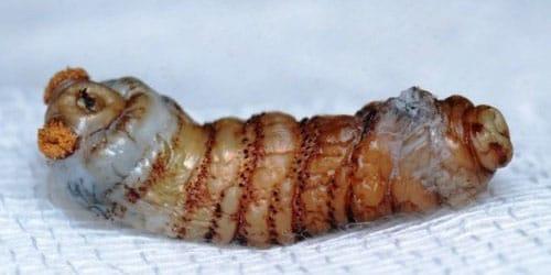 личинка паразитов