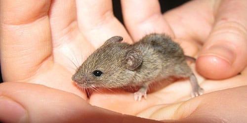 к чему снится поймать мышь