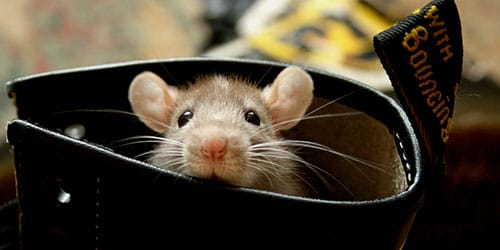 серый мышонок