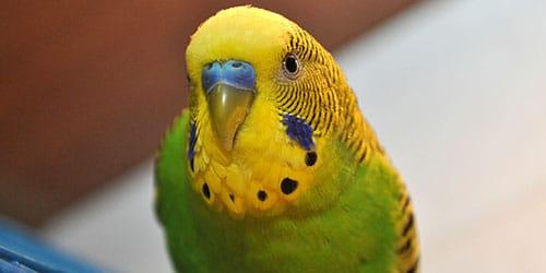 к чему снится попугай в клетке