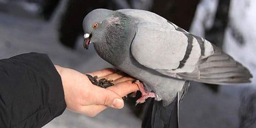 кормить голубя из рук
