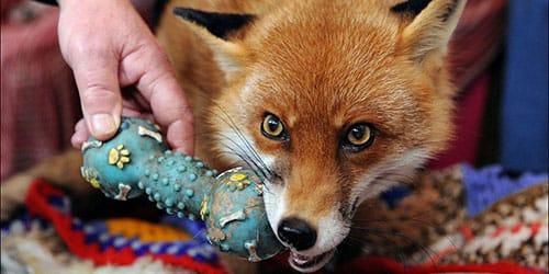 к чему снится рыжая лиса