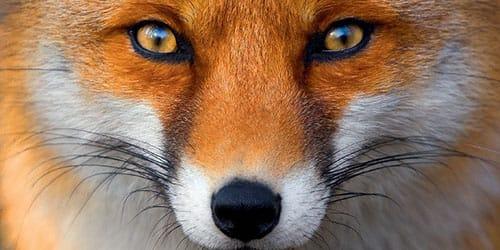 взгляд лисицы