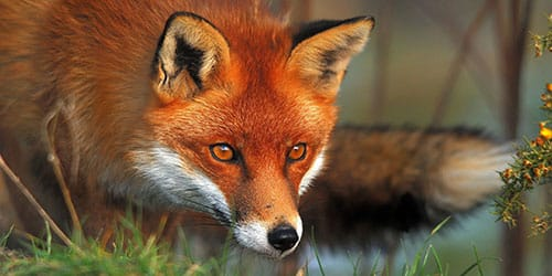хитрая лисица