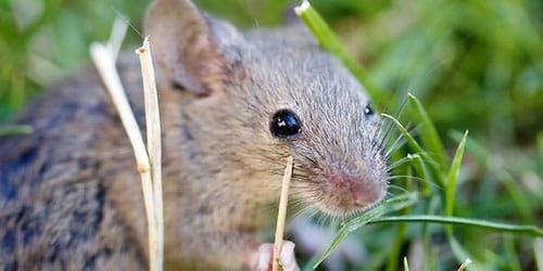 видеть во сне серую мышь