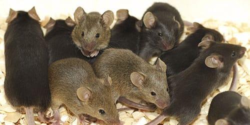 много мышей