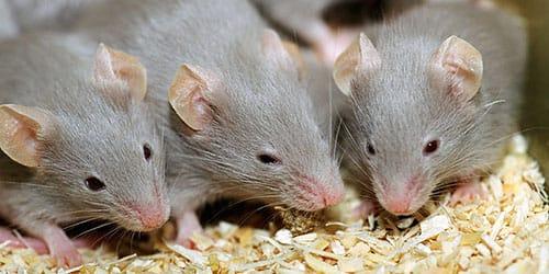 маленькие мышата