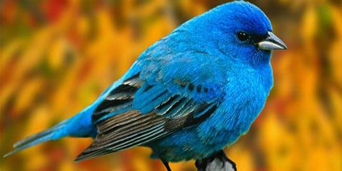 видеть синюю птицу во сне