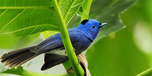 к чему снится синяя птица